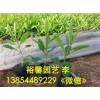 潍坊【价位合理】的马鞭草?【厂家直销 】质量好的薰衣草批发