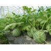潍坊口碑好的西瓜专用膜找哪家——供应蔬菜大棚膜