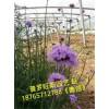 山东价格实惠的柳叶马鞭草:供应柳叶马鞭草