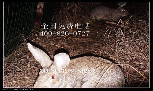 云贵川野兔种兔价格养殖基地