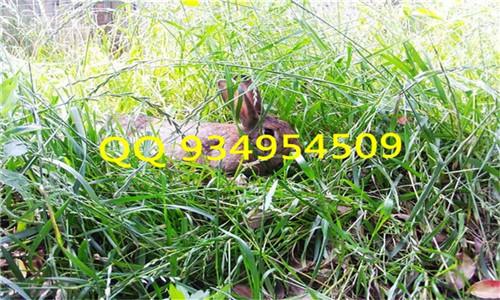生态观光园养殖放养野兔杂交兔效益好