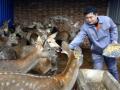 河北枣强县梅花鹿养殖使5000余人脱贫