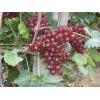 较受欢迎的葡萄苗出售 红芭拉蒂