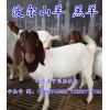 枣庄波尔山羊价格 出色的波尔山羊市场价格情况