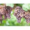 优异的葡萄苗出售,红太阳葡萄苗种植