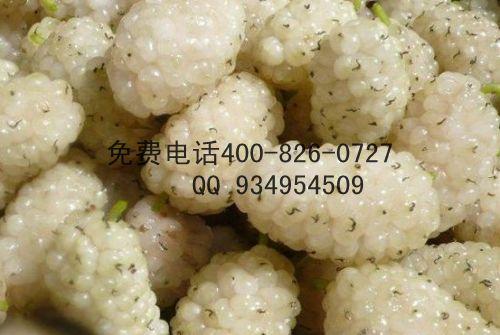 果桑苗葚树苗果批发价格便宜