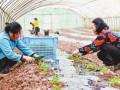 重庆忠县永丰镇:大棚种西瓜 提早上市