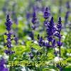 普罗旺斯花卉苗木出售新品鼠尾草——超值的鼠尾草价格行情
