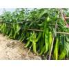品种好的甜椒种子批发_黑龙江炒椒种子厂家