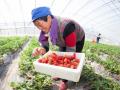 德州夏津:设施农业助农脱贫