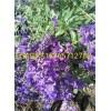 要买高质量的鼠尾草,普罗旺斯花卉苗木是不二选择 鼠尾草价格行情值得信赖