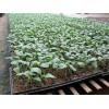 优质的大棚育苗基质市场价格情况_育苗基质配方