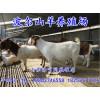波尔山羊种公羊价格——优惠的波尔山羊哪里有供应