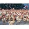 南宁散养鸡 市场上优质的南宁土鸡在哪里可以找到