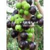 树葡萄苗,品种好的树葡萄种苗出售