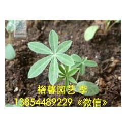 【羽扇豆哪家有【???】市场上具有口碑的羽扇豆在哪里批发价格】