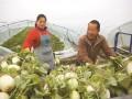 浙江温岭:甜瓜喜获丰收
