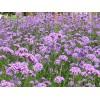 鲁冰花种植基地|大量供应优质的花卉