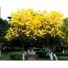 想要极好的黄花风铃木就来盛绿园艺,杭州黄花风铃木