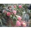 映霜红桃苗厂商出售_供应山东口碑好的映霜红桃苗