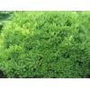 供应山东成活率高的绿化苗木 小龙柏批发