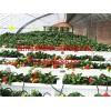 草莓温室建造_山东草莓温室建设哪家一流
