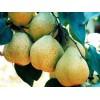 哪儿有超值的莱阳梨批发市场:山东莱阳梨基地代理