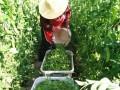 云南禄丰:豌豆丰收季村民采摘忙