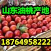 供应油桃批发 大棚油桃产地 山东油桃价格