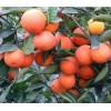 贵州柑橘苗价格.贵州柑橘苗种植技术.贵州柑橘苗管理