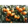 重庆柑橘树苗基地,重庆柑橘树苗价格,重庆柑橘树苗批发