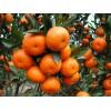 重庆柑橘树苗批发,重庆柑橘树苗特点,重庆柑橘树苗出售