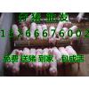 谁都知道价格行情三元猪近日批发价格多少钱一只