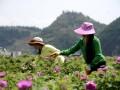 贵州:飘香玫瑰致富花 (1)