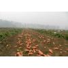 山东地瓜大量供应红薯紫薯黄薯17863386688