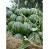 西瓜供应价近日西瓜销售价格