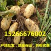 马铃薯市场价格山东土豆价格产地直销