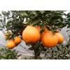 四川柑桔树苗价格,四川柑桔树苗批发,四川柑桔树苗特点