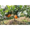 四川柑桔树苗批发,四川柑桔树苗特点,四川柑桔树苗出售