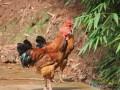侯位洪:养殖跑山鸡 跑出致富路