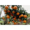 四川柑橘树苗价格,四川柑橘树苗批发,四川柑橘树苗特点
