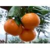 重庆柑橘苗价格,重庆柑橘苗批发,重庆柑橘苗特点