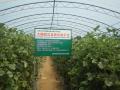 大同市大棚西瓜、甜瓜品种试验示范收效显著