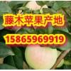 山东藤木苹果产地价格 山东苹果批发