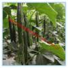 朴华农业大量供应各种嫁接黄瓜苗