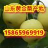 黄金梨最新价格 黄金梨产地在哪里