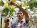 云南弥勒:健康发展葡萄产业 (3)