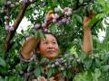 重庆黔江:万亩脆红李成熟 成群众增收致富的一大特色产业 (1)