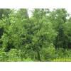 供应丝棉木等多种绿化苗木