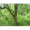 供应黄连木等多种绿化苗木